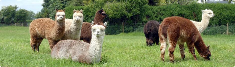 hawthorn-alpacas2