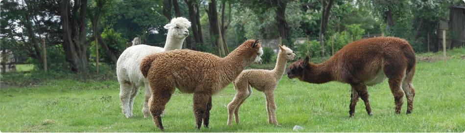 hawthorn-alpacas3
