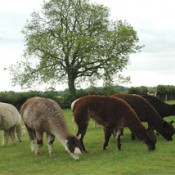 Feeding Alpacas, Space and Grazing