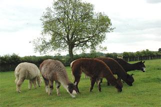 Feeding Alpacas, Space and Grazing