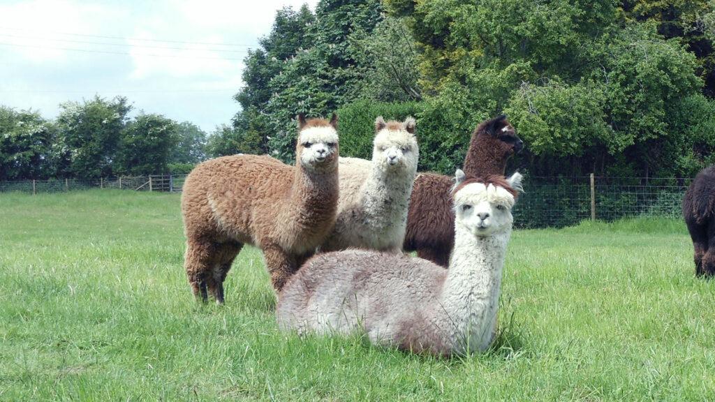 alpaca01_06