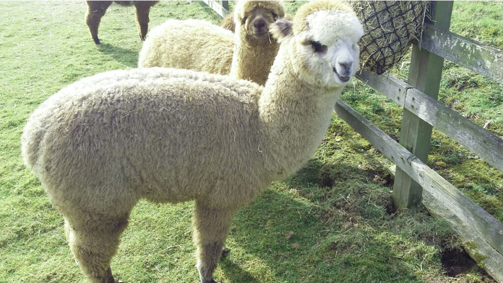 hawthorn-alpacas-gallery_05