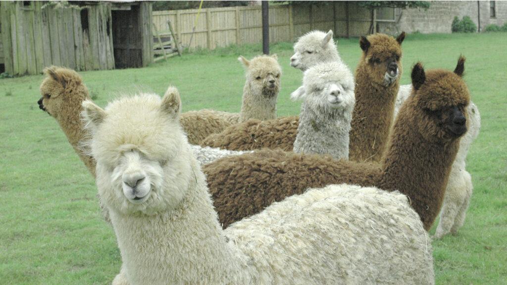 hawthorn-alpacas-gallery_07
